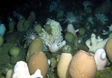 Glass Spnges on the Antarctic sea-bottom Photo: Fillinger et al., Current Biology (2013)