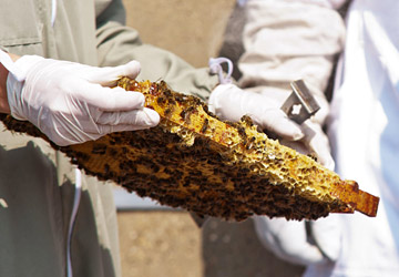 Honey Bees at the IALS, University of London. Photo: James Berry