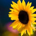 Bee approaching sunflower by Kenny Louie