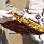 Honey Bees at the IALS, University of London. Photo: James Berry